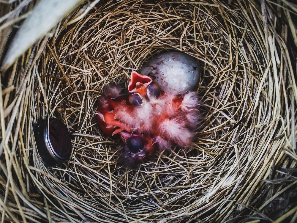 Red-winged blackbird chick in nest-1.jpg