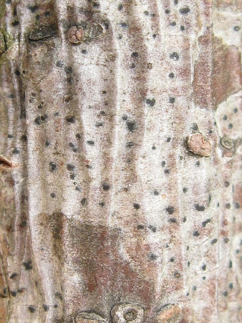 Arthonia caudata
