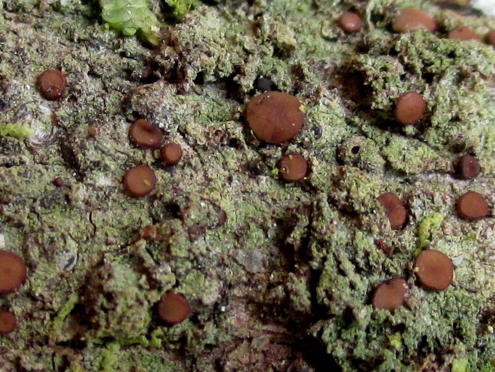Bacidia schweinitzii