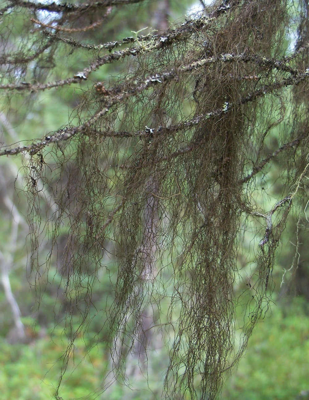 Bryoria trichodes ssp. trichodes