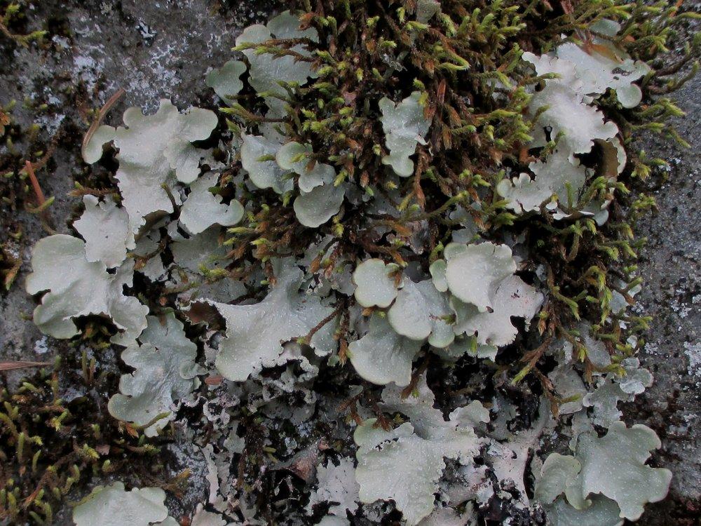 Cetrelia chicitea