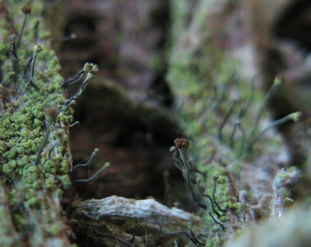 Chaenotheca chrysocephala