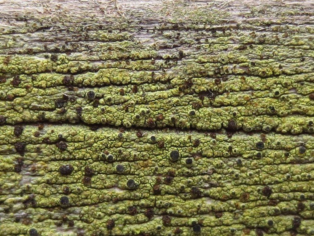 Cyphelium tigillare