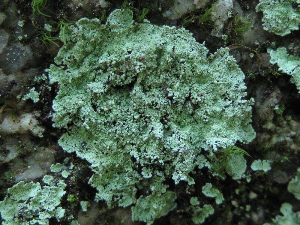 Lepraria normandinoides