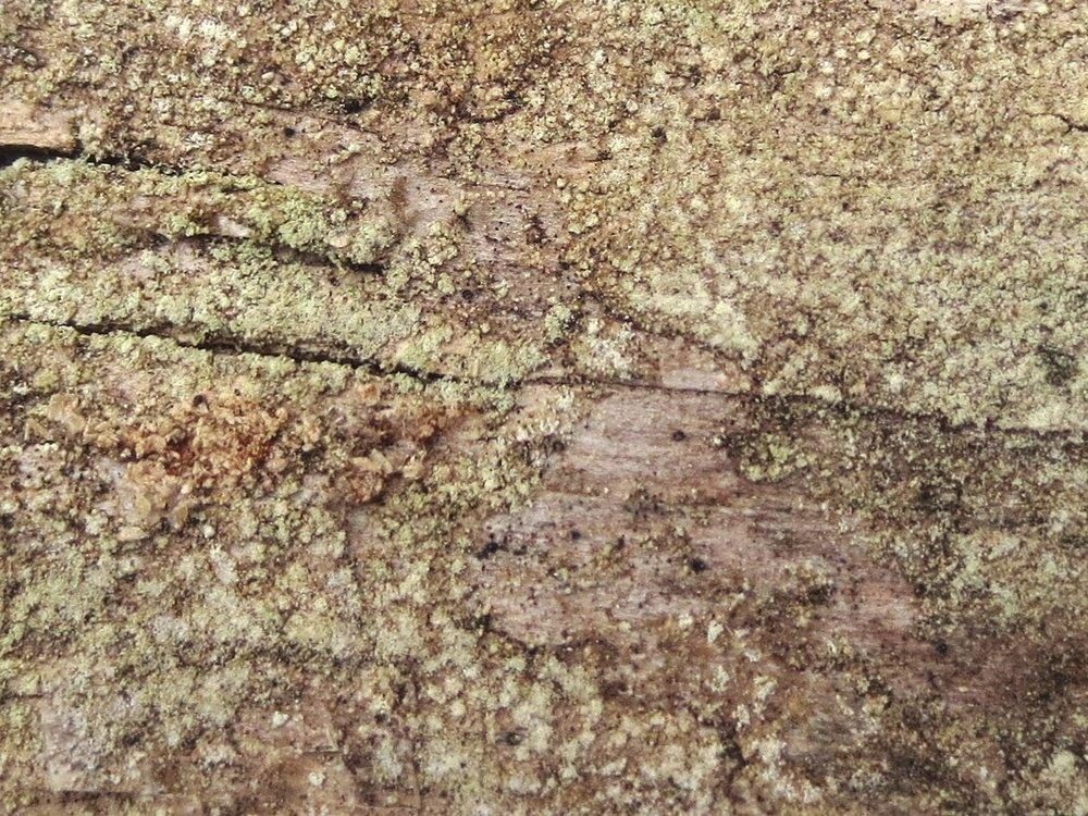 Ropalospora viridis