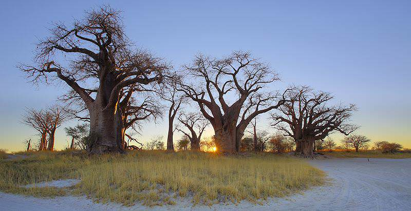 Baines Baobabs at sunrise