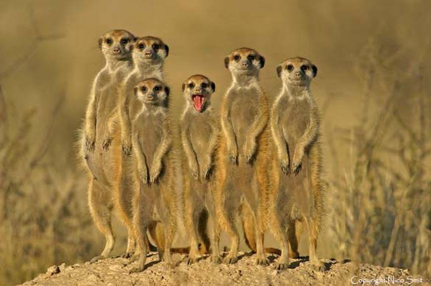 Suricate family, Botswana