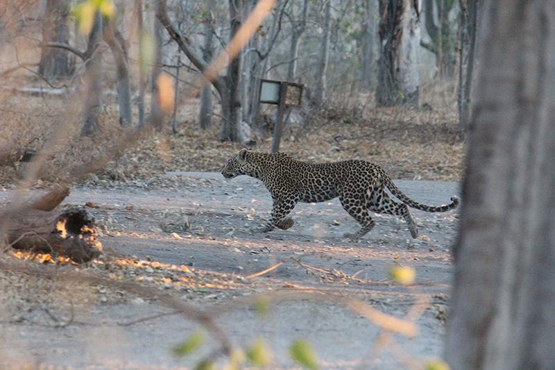 Leopard in camp