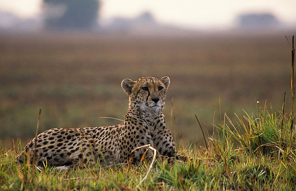 Cheetah on Nanzhila Plains