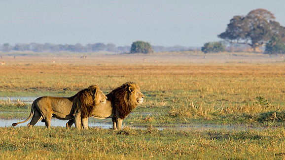 Lions in Busanga Plains