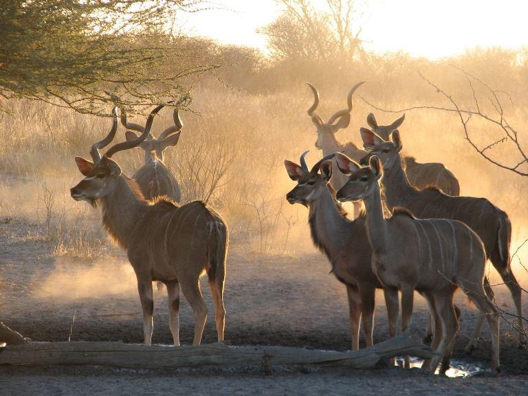 Kudu at sunrise