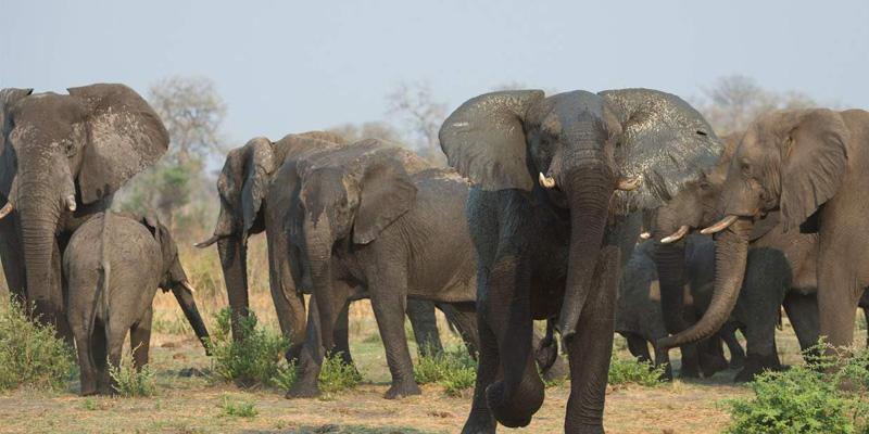 Elephant herd in Khaudum