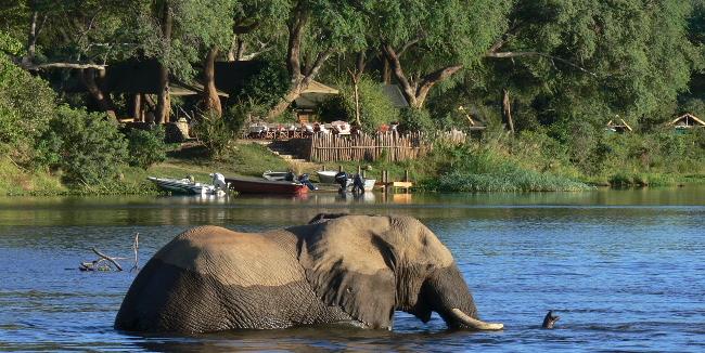 Elephant swimming, Lower Zambezi