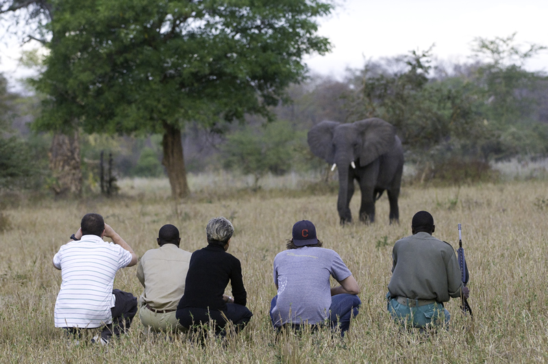 Elephant encounter on a guided walking safari, South Luangwa