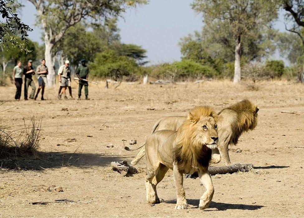 Lions on a walking safari