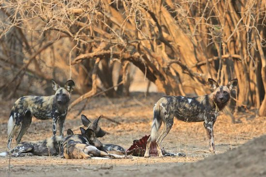 Wild Dogs in Mana Pools, Zimbabwe