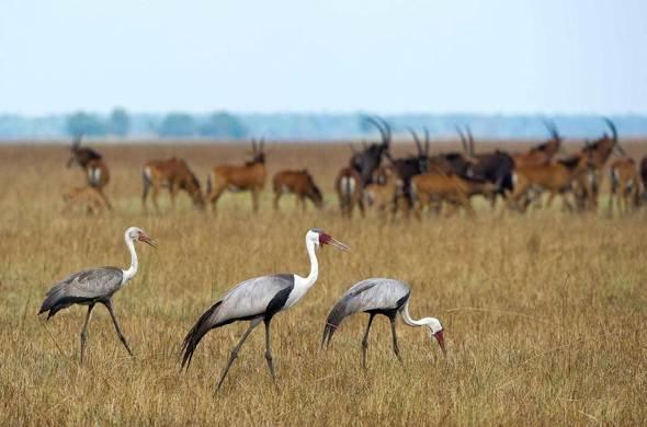 Wattled Crane, Lochinvar birding