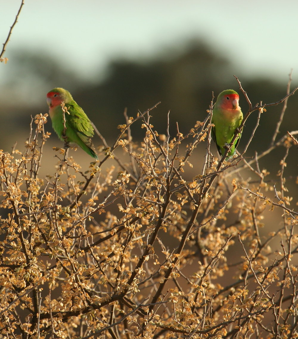 Rosy Cheeked Lovebirds, Lochinvar