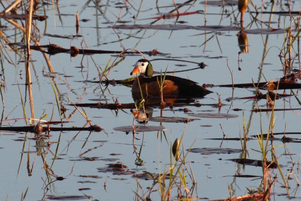 Pygmy Goose, Lochinvar