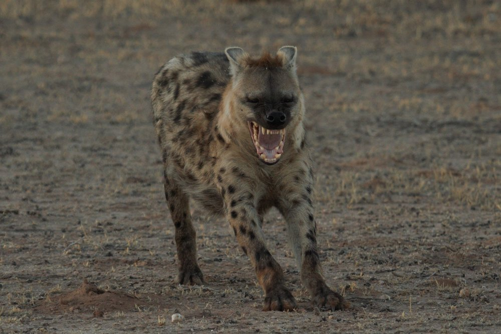 Hyena yawning