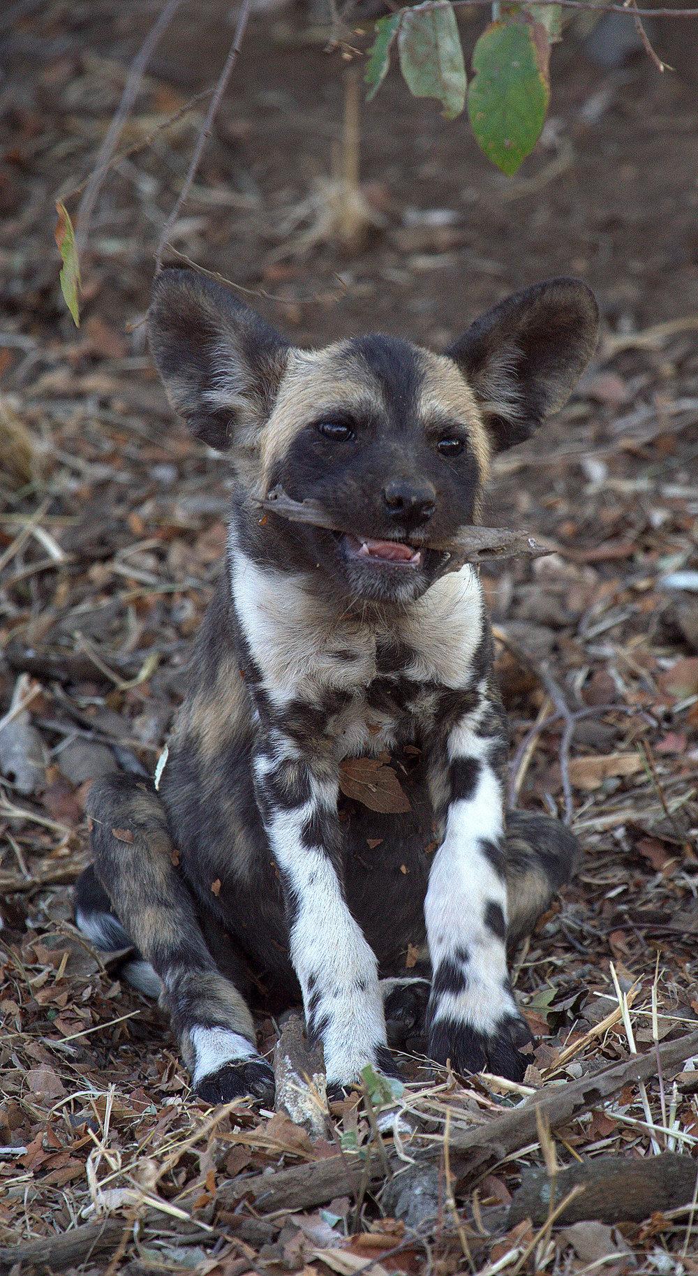 Wild Dog pup