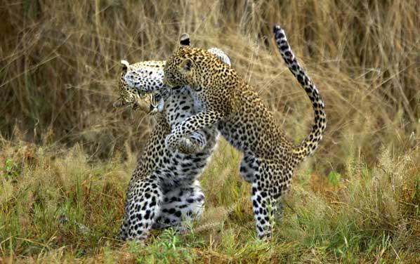 Leopard mating ritual, Savuti