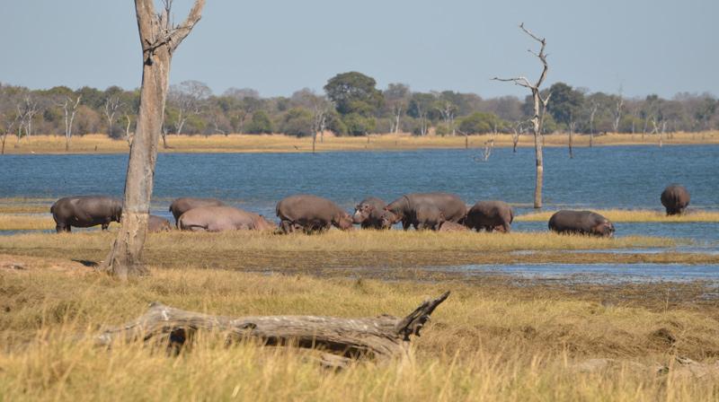 Hippo in Lake Itezhi-Tezhi
