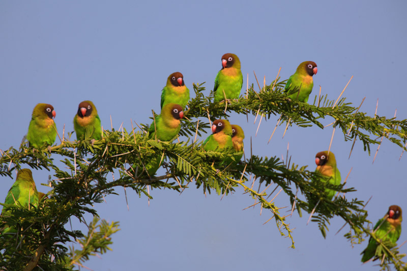 Black Cheeked Lovebirds, Kafue
