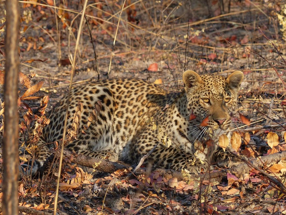 Leopard in Kafue