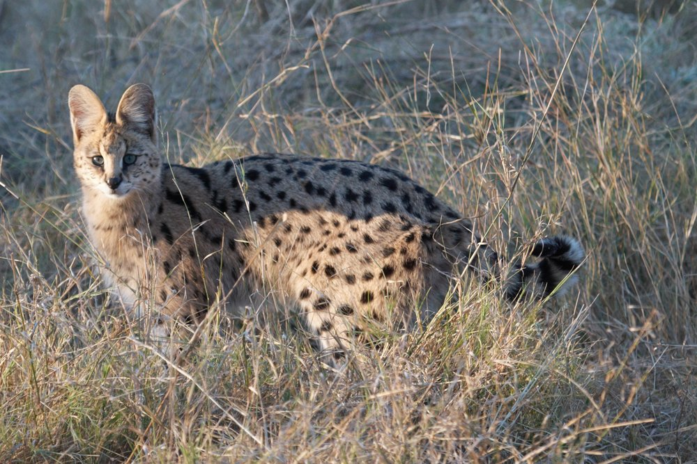 Serval cat hunting