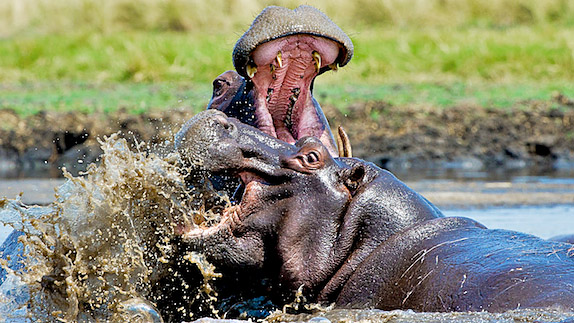 Hippo bulls fighting