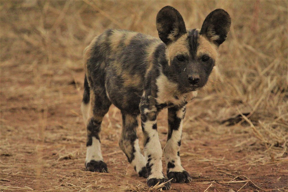 Wild Dog pup in the Linyanti