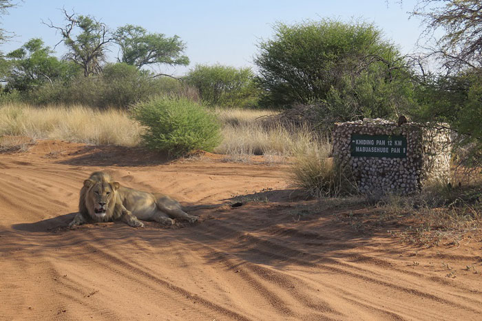 Lions rest in the Kgaligadi NP