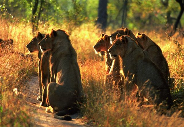 lions on road in africa on safari