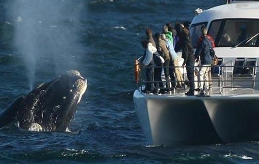 Hermanus whale watching