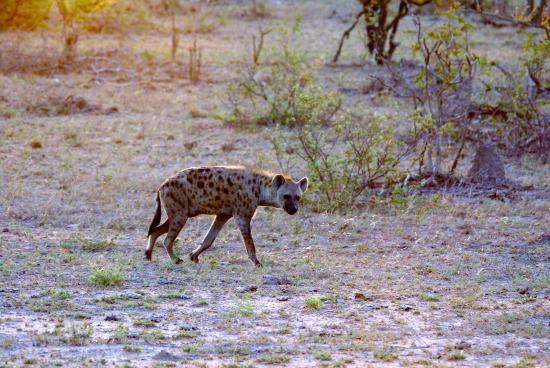 Spotted hyena on the Napi Trail (Crocuta Crocuta)