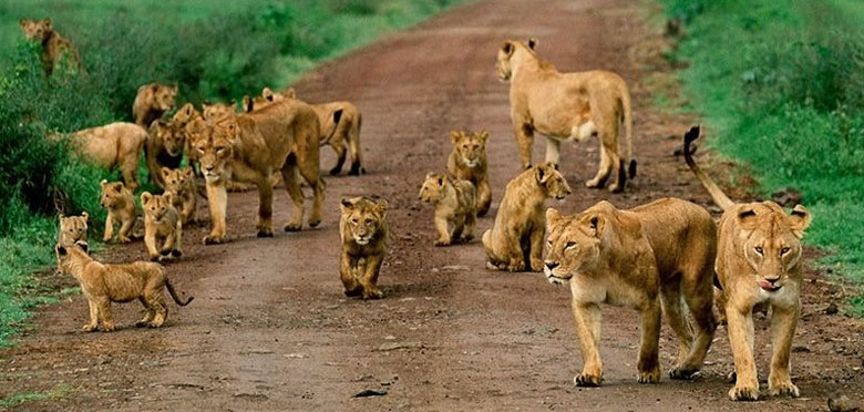 lion cubs tanzania africa safari