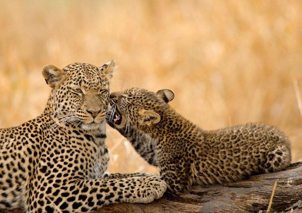 leopards seen on safari in kenya