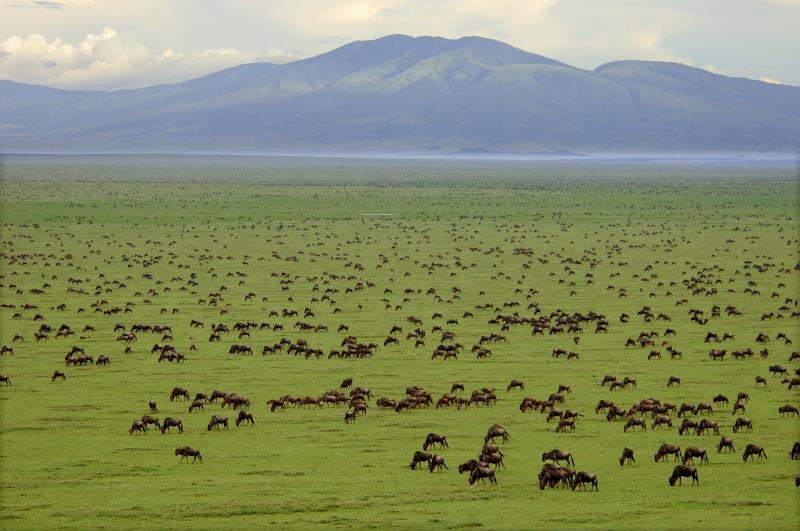 wildebeest in the serengeti national park as seen on safari