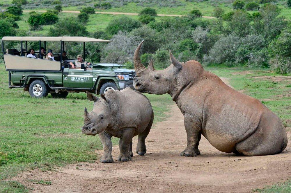 shamwari game drive rhino