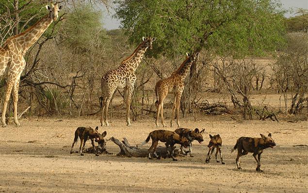 selous game reserve in tanzania with wild dogs giraffe safari