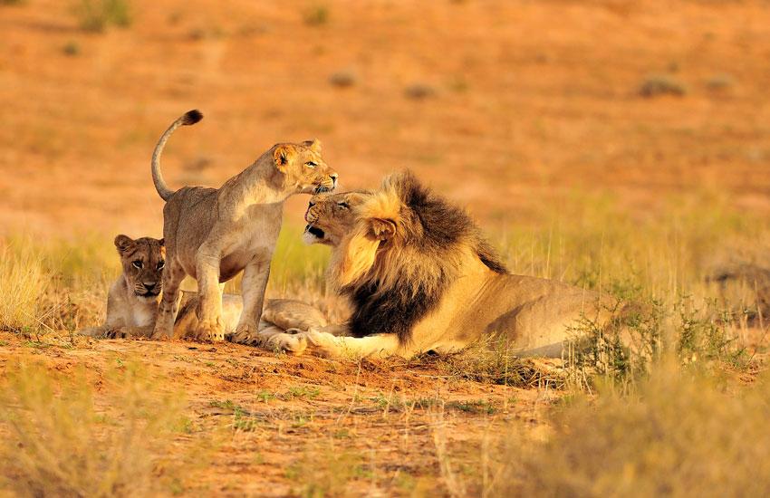 ruaha national park safari lions