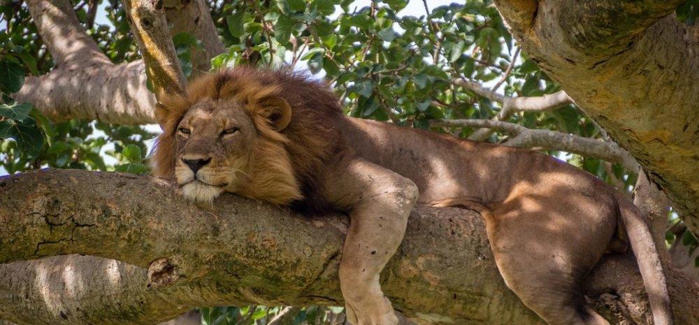 queen elizabeth national park lion in a tree on safari