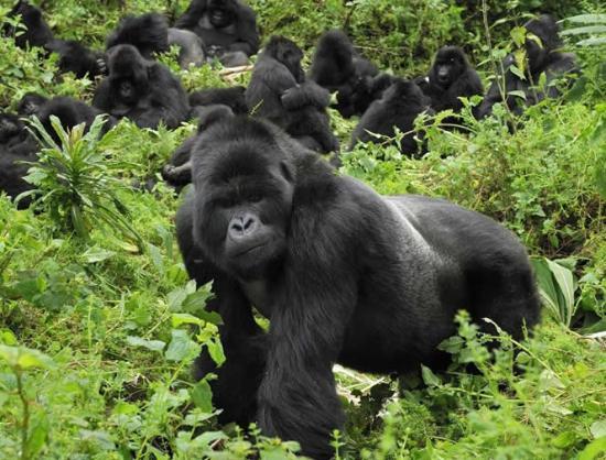 gorilla clouds mountain lodge uganda africa