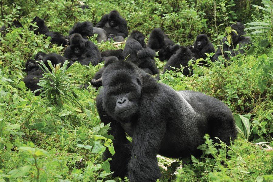 gorilla trekking bwindi impenetrable forest uganda africa