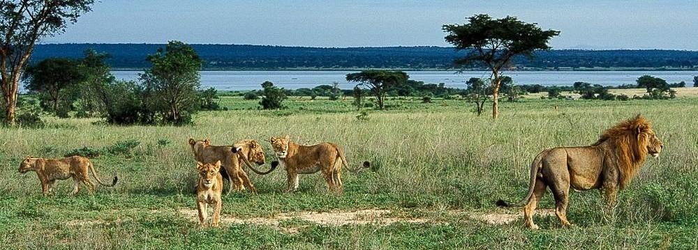 murchison falls national park lion pride uganda africa