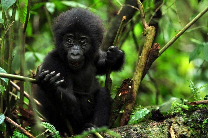 baby gorilla bwindi impenetrable forest uganda africa