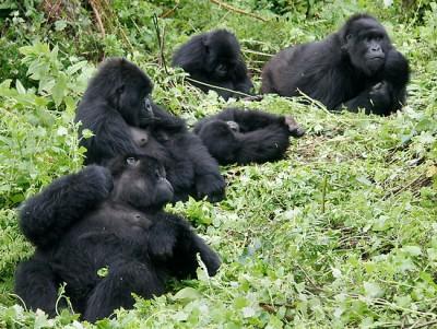 gorilla family bwindi impenetrable forest uganda africa