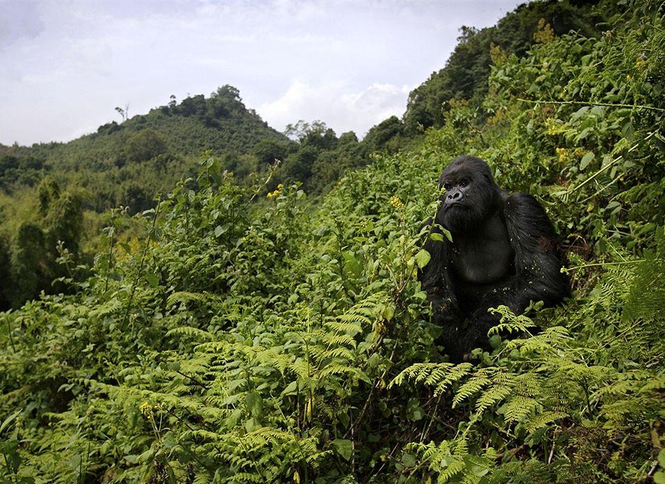 gorilla volcanoes national park uganda africa