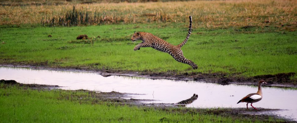 linyanti swamps leopard jumping water botswana african safari experts africa